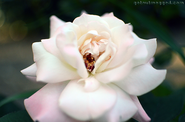 Nature Photography White Pink Rose